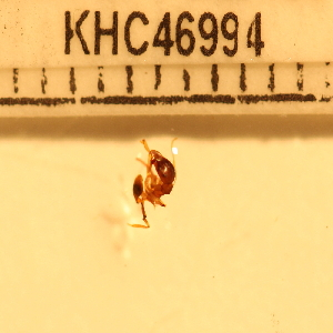 (Tetramorium sp. 20MKC - CCDB-201525_G09)  @12 [ ] No Rights Reserved  Unspecified Unspecified