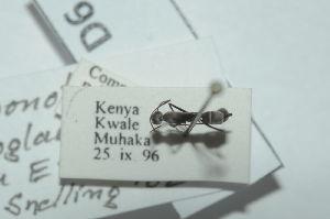 (Camponotus rufoglaucus - 13324-CaruD06)  @11 [ ] Copyright (2011) Fabian Haas icipe