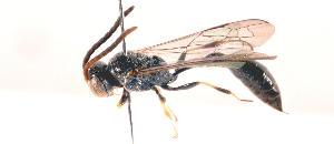 (Pemphredonidae - 19669PemphE12)  @14 [ ] Copyright (2013) Joseph Gitau icipe