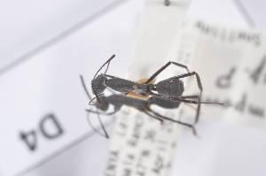 (Camponotus sp. P - CoD04)  @11 [ ] Copyright (2011) Fabian Haas icipe