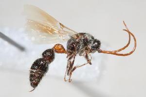 (Bradynobaenidae - 13708-BradynobaenidA2)  @11 [ ] Copyright (2011) RS Copeland Unspecified