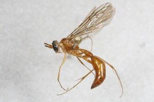(Rhopalosomatidae - 14482-RhopalosomatidA11)  @11 [ ] Copyright (2011) RS Copeland Unspecified