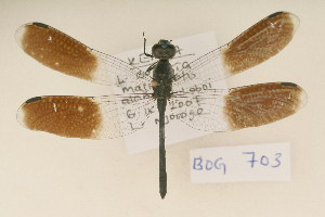 (Tetrathemistinae - BOG 703)  @14 [ ] Copyright (2011) NMK National Museums of Kenya