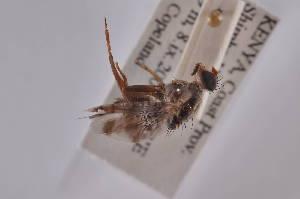 (Ceratitis pardalaspis - CepaB11)  @12 [ ] Copyright (2011) Fabian Haas icipe