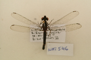 (Chlorocyphidae - NAT 546)  @14 [ ] Copyright (2011) NMK National Museums of Kenya