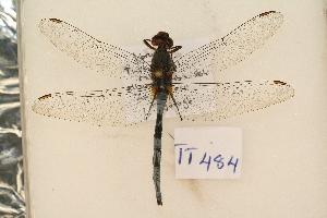 (Libellulidae - TT 484)  @15 [ ] Copyright (2011) NMK National Museums of Kenya