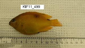 (Stegastes aureus - KIF11_499_FC01)  @13 [ ] Copyright (2011) Julia K Baum University of Victoria