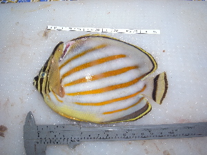 (Chaetodon ornatissimus - KIF12_258_FC01)  @15 [ ] Copyright (2012) Julia K Baum University of Victoria