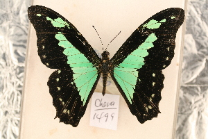 (Papilio phorcas - CHER 1499)  @13 [ ] Copyright (2011) NMK National Museums of Kenya