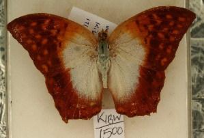 (Charaxes varanes - KBW 1500)  @11 [ ] Copyright (2011) NMK National Museums of Kenya