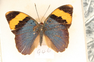 (Euphaedra neophron - MSA 946)  @13 [ ] Copyright (2011) NMK National Museums of Kenya