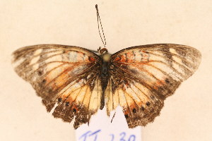 (Junonia sophia - TT 230)  @13 [ ] Copyright (2011) NMK National Museums of Kenya