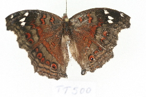 (Junonia natalica natalica - TT 500)  @13 [ ] Copyright (2011) NMK National Museums of Kenya