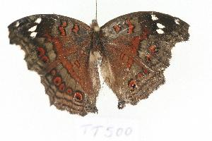 (Junonia natalica - TT 500)  @13 [ ] Copyright (2011) NMK National Museums of Kenya