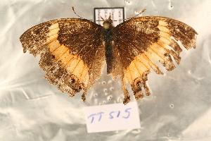 (Junonia terea - TT 515)  @12 [ ] Copyright (2011) NMK National Museums of Kenya