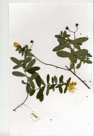 (Hypericum roeperianum var. roeperianum - CS11)  @11 [ ] Copyright  - Unspecified