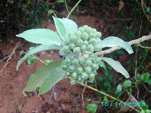 (Solanum mauritianum - CS34)  @11 [ ] Unspecified (default): All Rights Reserved  Unspecified Unspecified