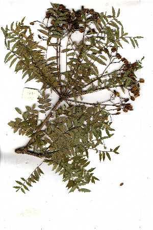 (Kirkiaceae - OM1447)  @11 [ ] Copyright  - Unspecified