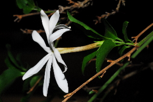 (Jasminum multipartitum - OM1541)  @11 [ ] Unspecified (default): All Rights Reserved  Unspecified Unspecified