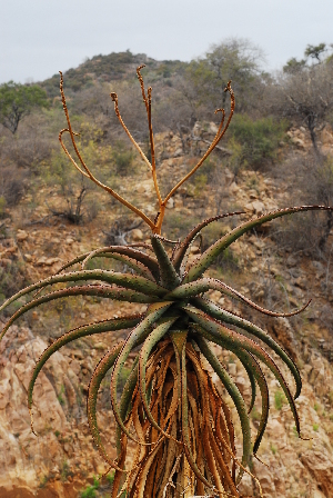 (Aloe excelsa - OM1621)  @13 [ ] Unspecified (default): All Rights Reserved  Unspecified Unspecified