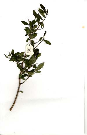 (Diospyros dichrophylla - OM1758)  @11 [ ] Copyright  Unspecified Unspecified