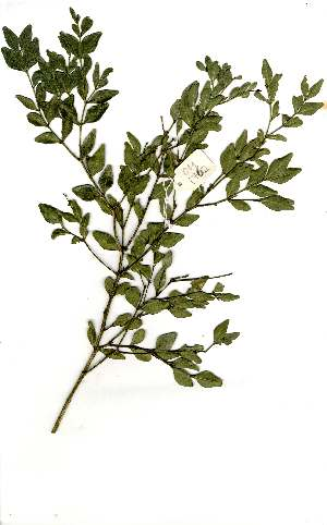(Buxus macowani - OM1762)  @11 [ ] Unspecified (default): All Rights Reserved  Unspecified Unspecified