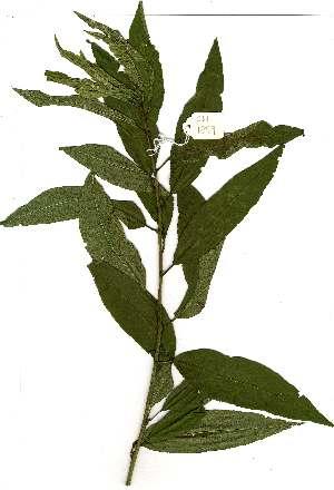 (Prunus persica - OM1899)  @11 [ ] Copyright  - Unspecified
