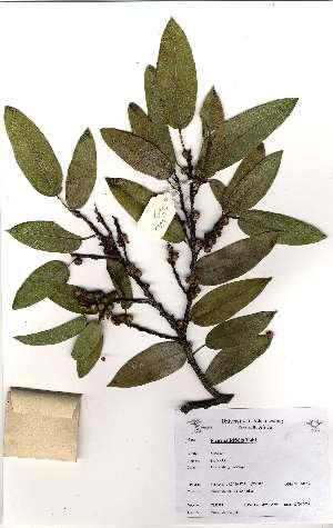 (Ficus salicifolia - OM1981)  @11 [ ] Unspecified (default): All Rights Reserved  Unspecified Unspecified