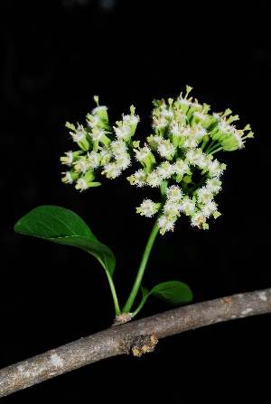 (Plectroniella - OM0962)  @11 [ ] Unspecified (default): All Rights Reserved  Unspecified Unspecified