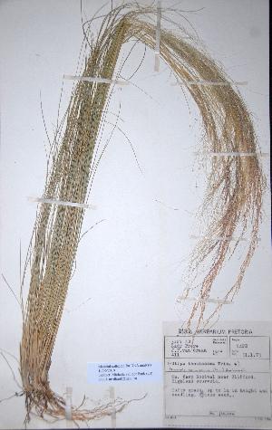 (Nassella tenuissima - KNP115)  @11 [ ] Unspecified (default): All Rights Reserved  Unspecified Unspecified