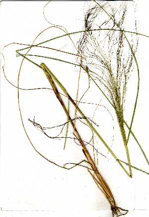(Aristida meridionalis - OM0662)  @11 [ ] Copyright  Unspecified Unspecified