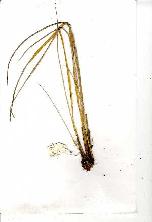 (Coleochloa - OM0849)  @11 [ ] Copyright  - Unspecified