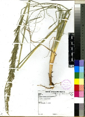 (Sporobolus natalensis - PRE376)  @11 [ ] No Rights Reserved  Unspecified Unspecified