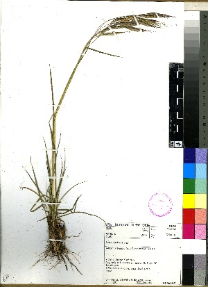 (Bromus natalensis - PRE470)  @11 [ ] No Rights Reserved  Unspecified Unspecified