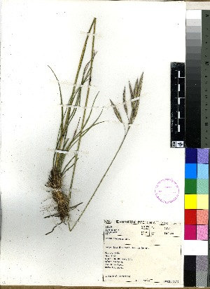 (Bromus speciosus - PRE471)  @11 [ ] No Rights Reserved  Unspecified Unspecified