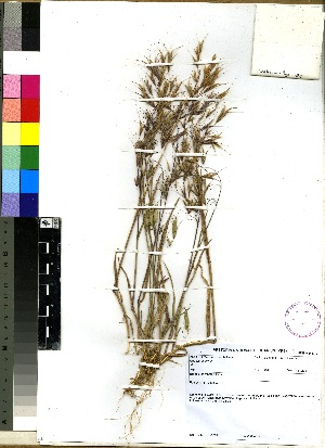 (Bromus pectinatus - PRE475)  @11 [ ] No Rights Reserved  Unspecified Unspecified