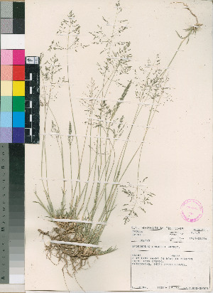 (Sporobolus ludwigii - PRE552)  @11 [ ] No Rights Reserved  Unspecified Unspecified