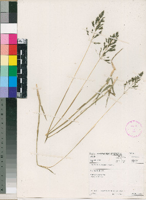 (Sporobolus congoensis - PRE554)  @11 [ ] No Rights Reserved  Unspecified Unspecified