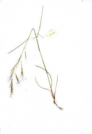 (Aristida junciformis - YBK264)  @11 [ ] Copyright  Unspecified Unspecified