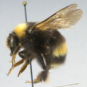 (Bombus occidentalis - KNWR 2800)  @15 [ ] No Rights Reserved (2012) Unspecified U.S. Fish and Wildlife Service