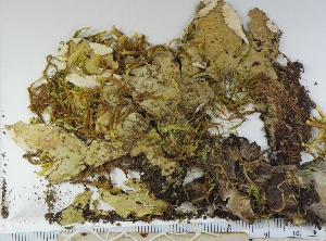 (Peltigera britannica - KNWR Herb 9051)  @11 [ ] CreativeCommons - Attribution Non-Commercial Share-Alike (2013) Unspecified U.S. Fish & Wildlife Service