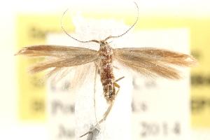 (Coleophora cretaticostella - BIOUG20646-E03)  @14 [ ] CreativeCommons - Attribution Non-Commercial Share-Alike (2015) BIO Photography Group Biodiversity Institute of Ontario
