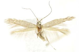 (Coleophora glaucella - BIOUG24422-G09)  @15 [ ] CreativeCommons - Attribution Non-Commercial Share-Alike (2015) CBG Photography Group Centre for Biodiversity Genomics