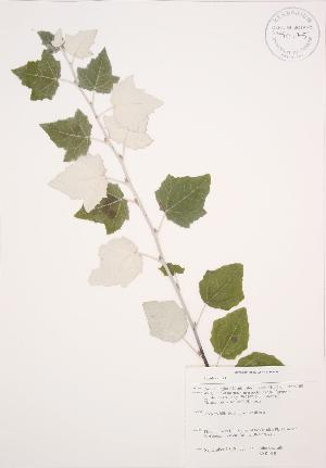 (Populus alba - KSR 018)  @11 [ ] Unspecified (default): All Rights Reserved  Unspecified Unspecified