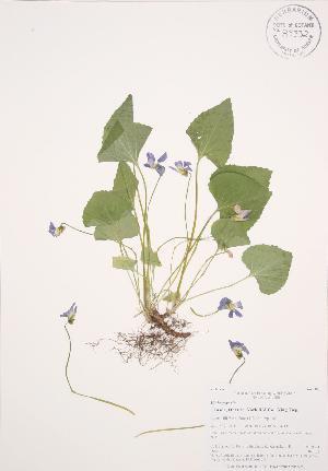 (Viola sororia - AP448)  @11 [ ] Copyright (2009) Steven Newmaster University of Guelph BIO Herbarium
