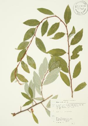 (Elaeagnus umbellata - AP362)  @11 [ ] Unspecified (default): All Rights Reserved  Unspecified Unspecified