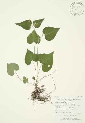 (Viola canadensis - AP190)  @11 [ ] Copyright (2009) Steven Newmaster University of Guelph BIO Herbarium