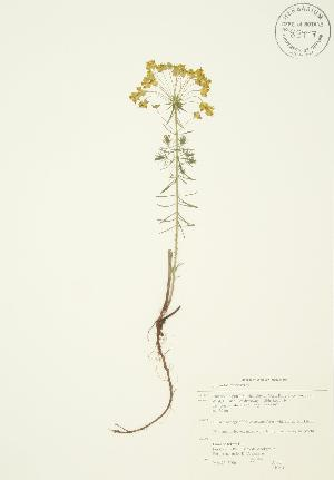 (Euphorbia cyparissias - AP041)  @11 [ ] Unspecified (default): All Rights Reserved  Unspecified Unspecified
