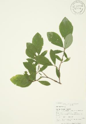 (Dirca - AP002b)  @11 [ ] Copyright (2009) Steven Newmaster University of Guelph BIO Herbarium