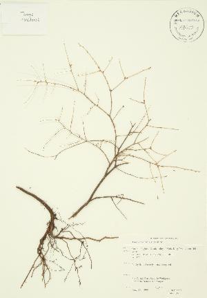 ( - JAG 0017)  @11 [ ] Copyright (2009) Steven Newmaster University of Guelph BIO Herbarium